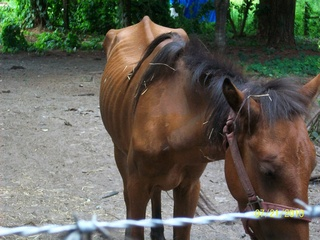 Horse involved in animal cruelty investigation_20100723230544_JPG