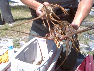 Mini lobster season _20100728181304_JPG