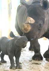 Baby Black Rhinocerous, born August 23, 2010, courtesy Zoo Miami_20100826155509_JPG