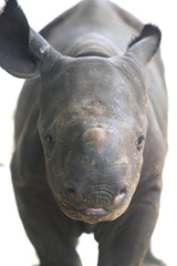 Baby Black Rhinocerous, born August 23, 2010, courtesy Zoo Miami_20100826155658_JPG