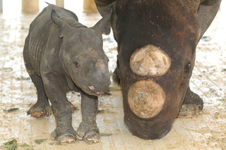 Baby Black Rhinocerous, born August 23, 2010, courtesy Zoo Miami_20100826155844_JPG