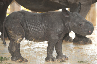 Baby Black Rhinocerous, born August 23, 2010, courtesy Zoo Miami_20100826155944_JPG