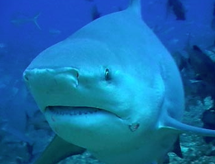 1shark_whitetip_20101127055305_PNG
