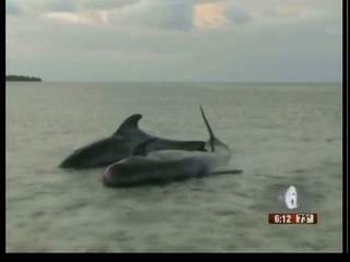 2 pilot whales stranded in Florida Keys released