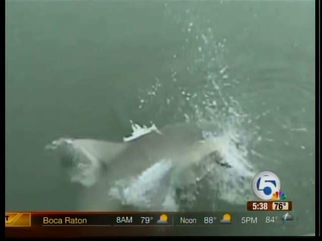 Myrtle beach shark attacks for Shark fishing myrtle beach