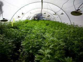 WPTV Marijuana pot cannabis grow plants greenhouse