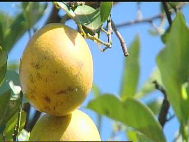 citrus fruits fruit growers supply