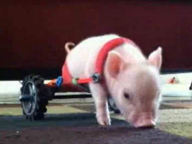 WPTV Chris P. Bacon wheelchair pig