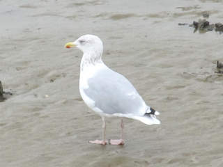 WPTV Herring Gull bird