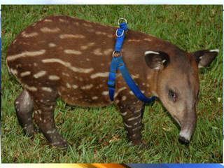 WPTV-Timmy the Tapir