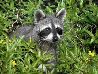 xraccoon.pg_20130521113650_JPG