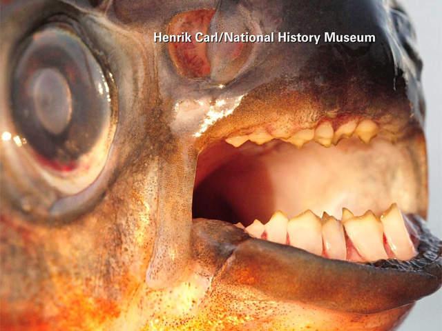 Pacu fish bites testicles for Pacu fish teeth