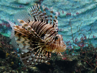 Sharpen those spears: Lionfish season is near