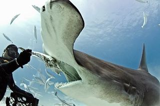 Diver feeds hammerhead shark in Bahamas