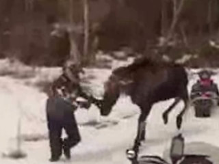 VIDEO: Moose attacks couple in Maine