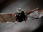 Bat attack caught on camera