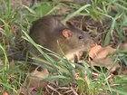 Large rat attacks New York City subway rider