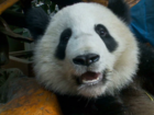 Report: Panda may have faked pregnancy
