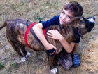 Pit bull saves boy from bees, hailed as hero