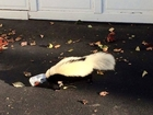 Skunk with head stuck in beer can rescued