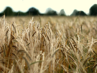 Unapproved genetically modified wheat found
