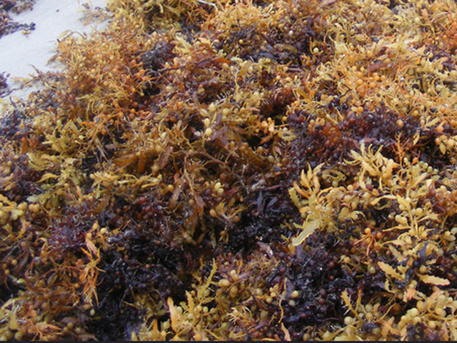 Image result for carrageenan red algae