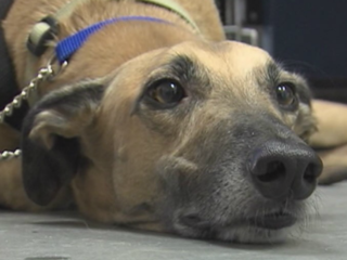 Training greyhounds to help veterans