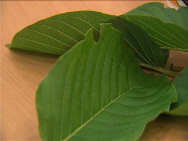 Is Kratom High In Fiber