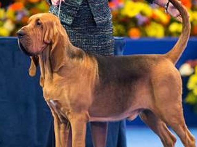 A Bloodhound Named Nathan Nathan the bloo...