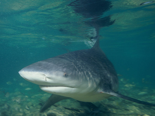 Concern rising over bull sharks after attack