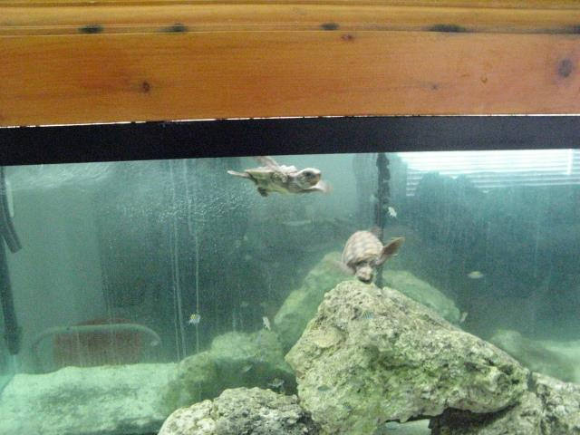 Loggerhead sea turtle hatchlings found in fish tank leads to citation ...