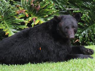 Webinars to discuss bear management in Florida