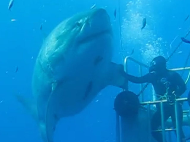 Biggest Great White Mexico
