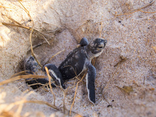 Record year for sea turtle nests in S. Florida