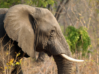 Efforts against ivory traffickers fall short