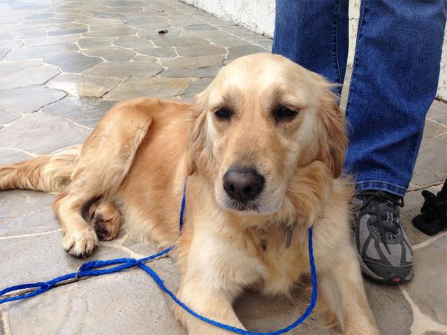 Golden retriever pet rescue florida