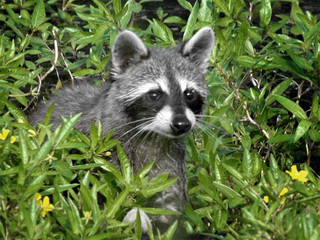 Raccoon that attacked dog is positive for rabies