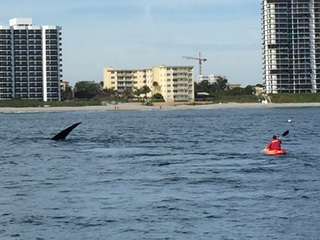 Right whale spotted again in Jupiter