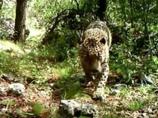 U.S.'s only known wild jaguar caught on camera