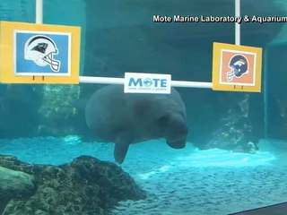 Florida manatees select winner of Super Bowl
