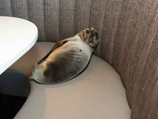 Starving sea lion found in restaurant, rescued