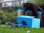 Lion Country chimps go ape for Super Bowl