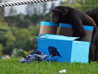 Lion Country chimps go ape for Super Bowl