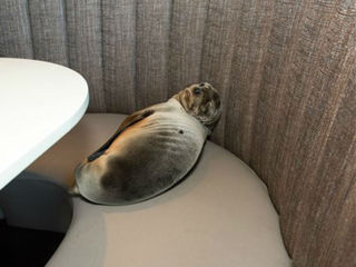 Starving sea lion found in California restaurant