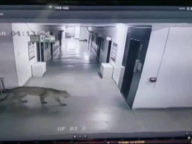 Leopard invades school in India
