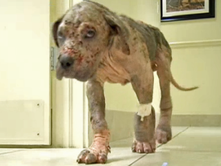 Neglected, emaciated dog recovering
