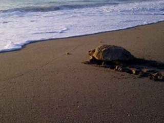 1st loggerhead turtle nest of the season spotted