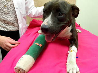 Dog recovering from gunshot wound in Hollywood