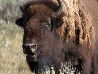 Bison could become national mammal of the U.S.