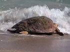 2 loggerhead sea turtles set free